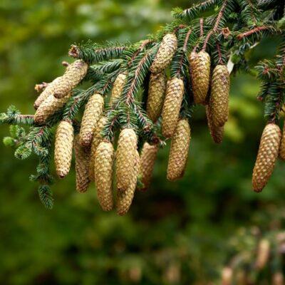 Pine Pollen Liquid and Capsules